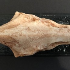 Picture of print of Pteranodon Skull This print has been uploaded by MIke Warden