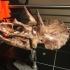 Triceratops Skull in Colorado, USA print image