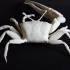 Fiddler crab image