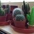 Cactus in a pot image