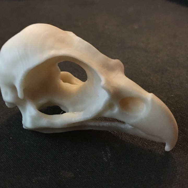Picture of print of Eagle (Osprey) Skull This print has been uploaded by André Körner