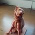 The Dog of Alcibiades print image