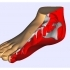 Anatomical Model_Foot image