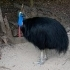 Southern Cassowary head image