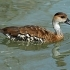 West Indian Whistling-duck head image