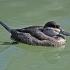 Ruddy Duck beak image