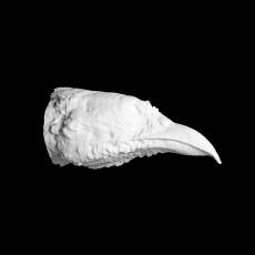 Long-billed partridge head