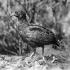 Long-billed partridge head image