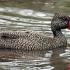 Freckled duck beak image