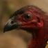Red-billed Brush-turkey head image