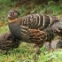 Buff-throated Partridge head image