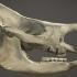 Rhinoceros Skull image