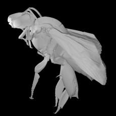 Eulaema Meriana Bee