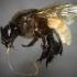 Eulaema Meriana Bee image