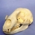 Monachus Tropicalis Fossil, Caribbean Monk Seal image
