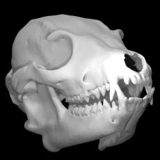 Otocyon megalotis, Bat-eared Fox (male)