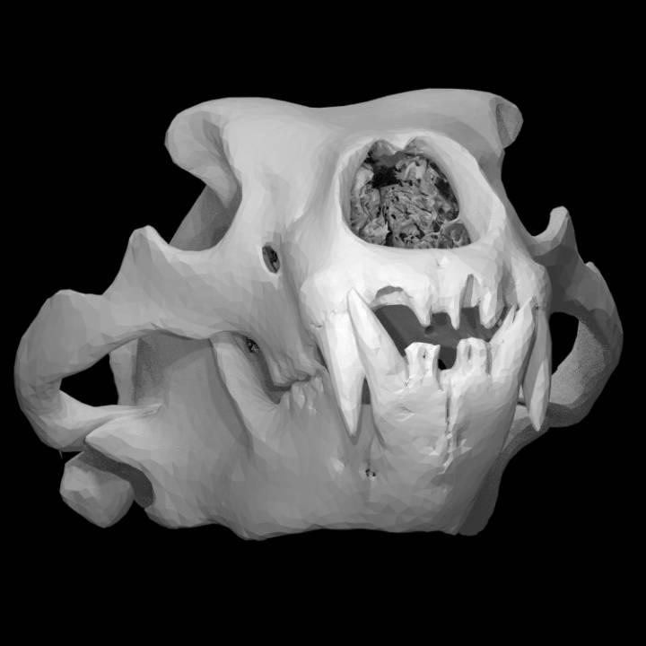 Ursus Maritimus, Polar Bear