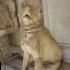 Molossi Dogs image