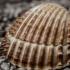 Shell (Upper Nodena) image