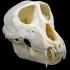 Rhinopithecus Roxellana image