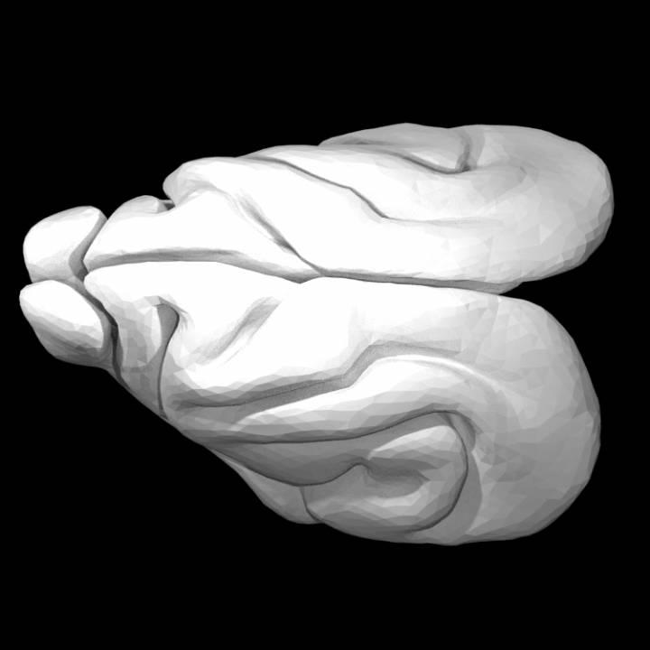 Furet Brain