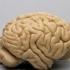 Orangutan Brain image