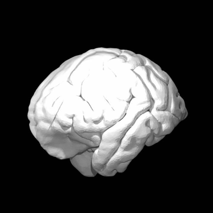 Orangutan Brain