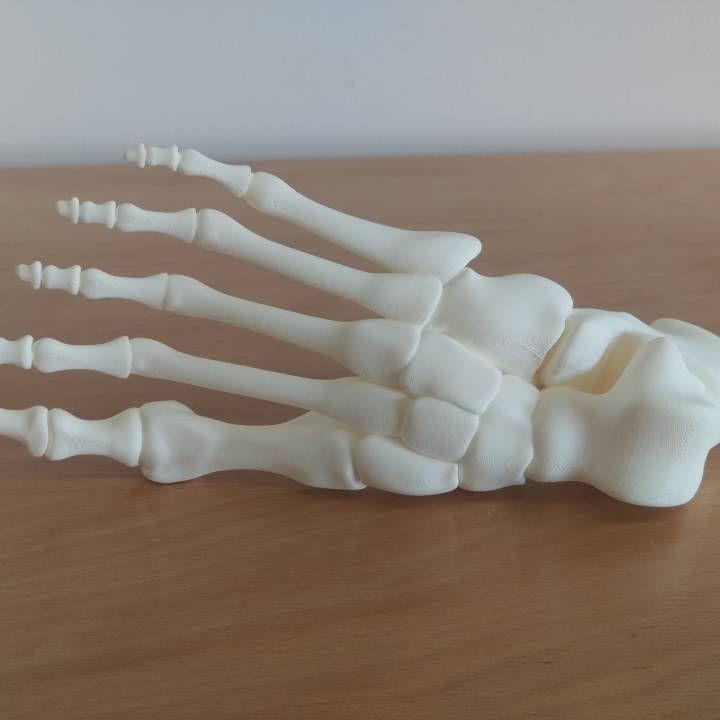 """Guy McCann's """"Foot, Right Human Fully assembled"""" model with connected joints and bones"""