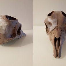 Picture of print of Markhor Skull