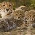 Cheetah Brain image