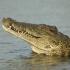 Nile Crocodile Brain image