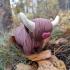 Highland Cow image