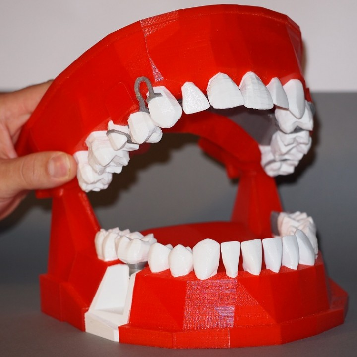 Dental Demonstration Model / Modèle de démonstration dentaire