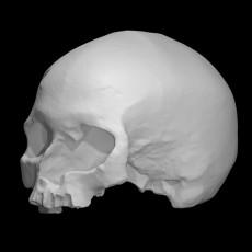 Cro-Magnon - Homo Sapiens Sapiens Female Skull