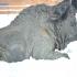 Resting bison image