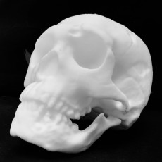 Picture of print of Neanderthal skull This print has been uploaded by Scan The World