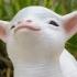 Smug goat image