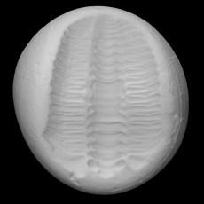 Trilobite - Tapinocalymene