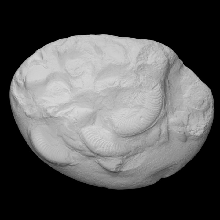 Ammonite - Harpoceras