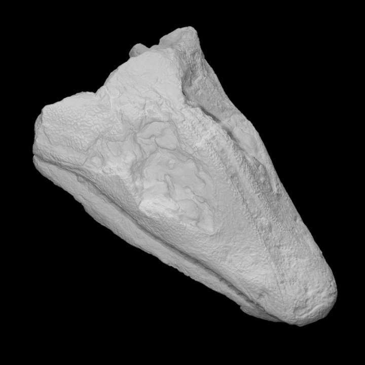 Amphibian - Skull (Megalocephalus)