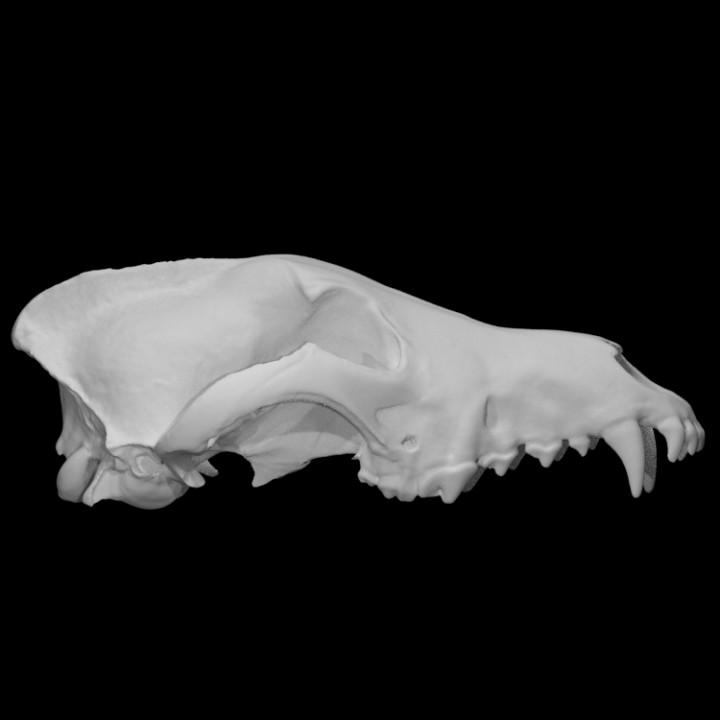 Gray Wolf specimen 01 : male