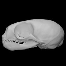 Northern Fur Seal specimen : male