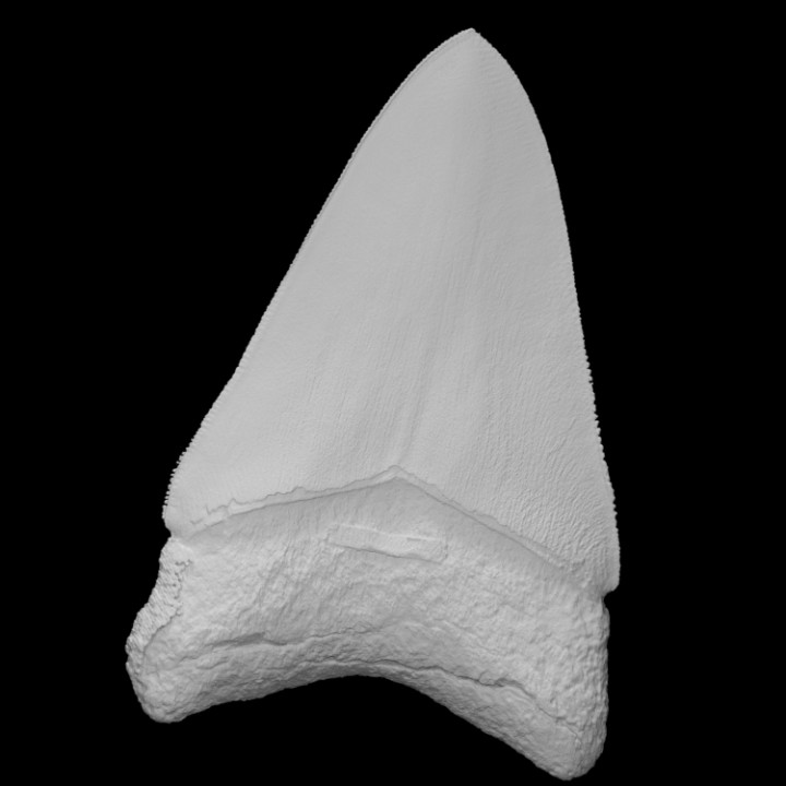 3D Printable Megalodon Fossil Shark Tooth By The Lapworth