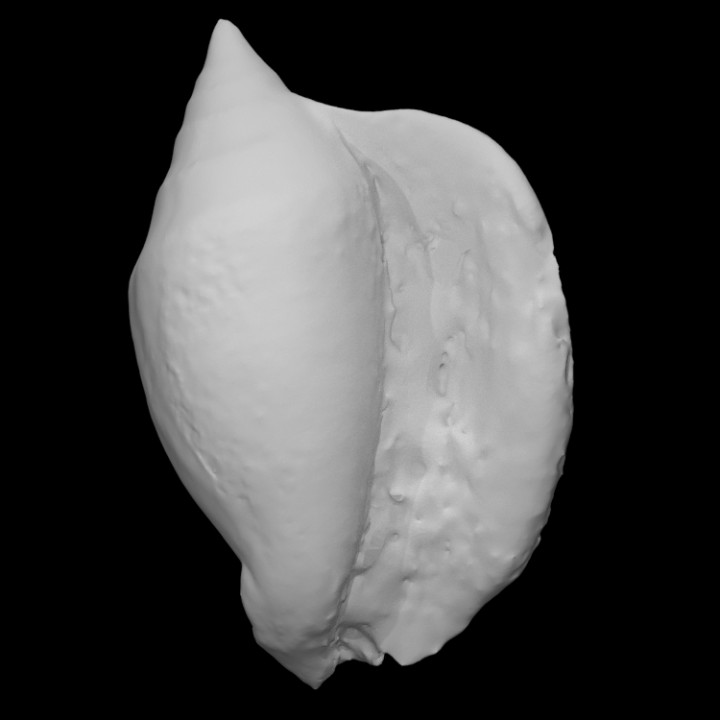 Gastropod: Lobatus leidyi (adult) (PRI 76754)