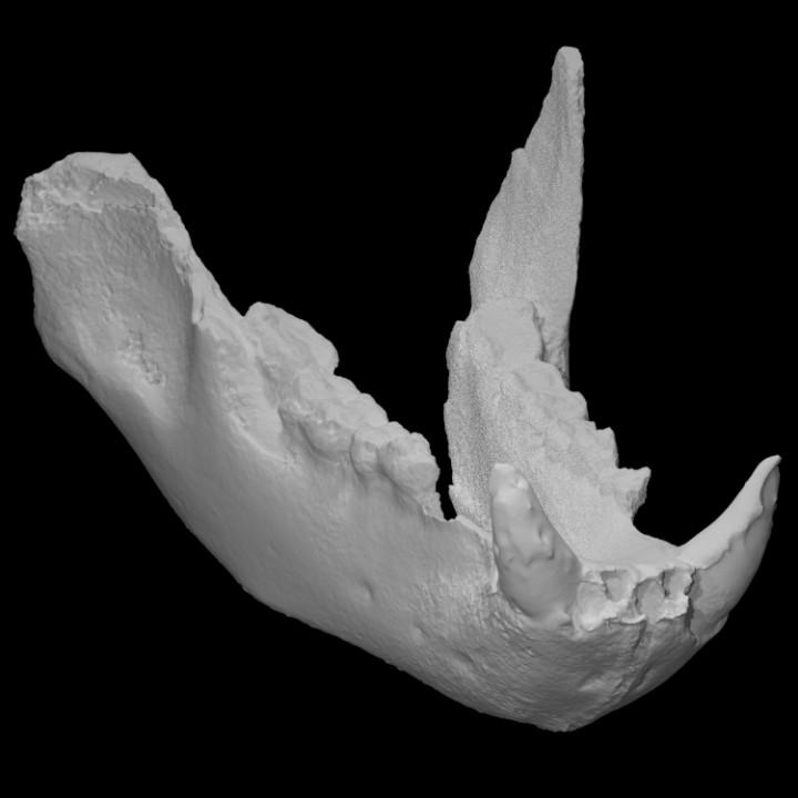 Ursus spelaeus (cave bear) lower jaw (PRI 50009)