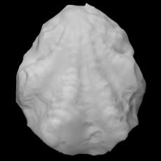 Bivalvia fossil