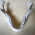 Human Mandible with teeth (with out 3rd molar) image