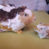 Guinea pig Meerschwein image