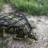 Box Turtle image