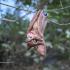 Vampire Bat image